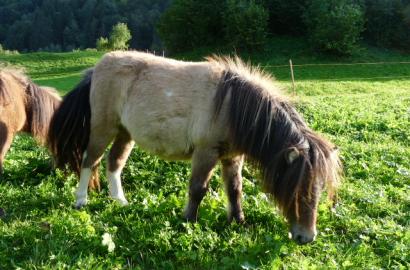 shetland pony verkauf ponys kaufen alpacas ziegen online. Black Bedroom Furniture Sets. Home Design Ideas